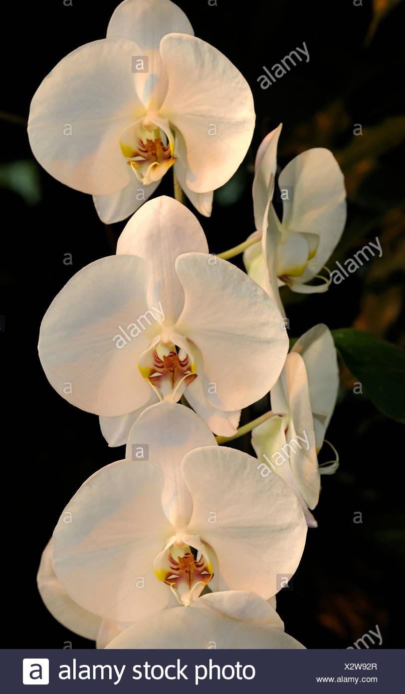 Nachtfalter-Orchideen (Phalaenopsis), Hybriden Stockbild