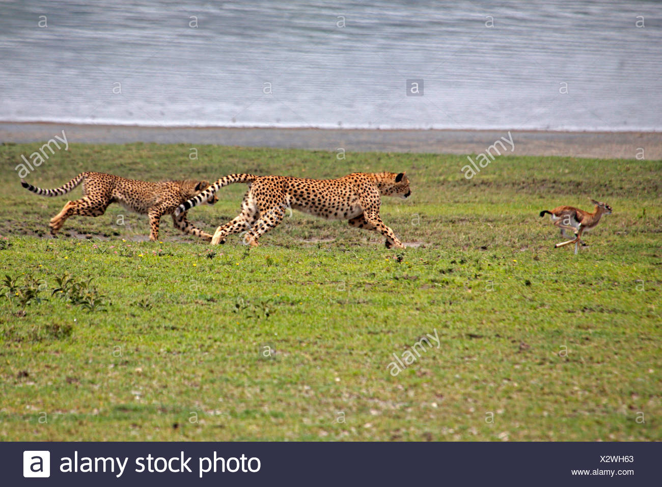 Gepard (Acinonyx Jubatus), zwei Geparden jagen eine Gazelle, Serengeti Nationalpark Stockbild