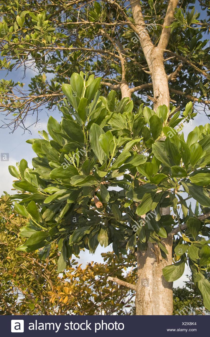 Asiatische Pflanzen asiatische braune salwood fabaceae mimosoideae baum bäume