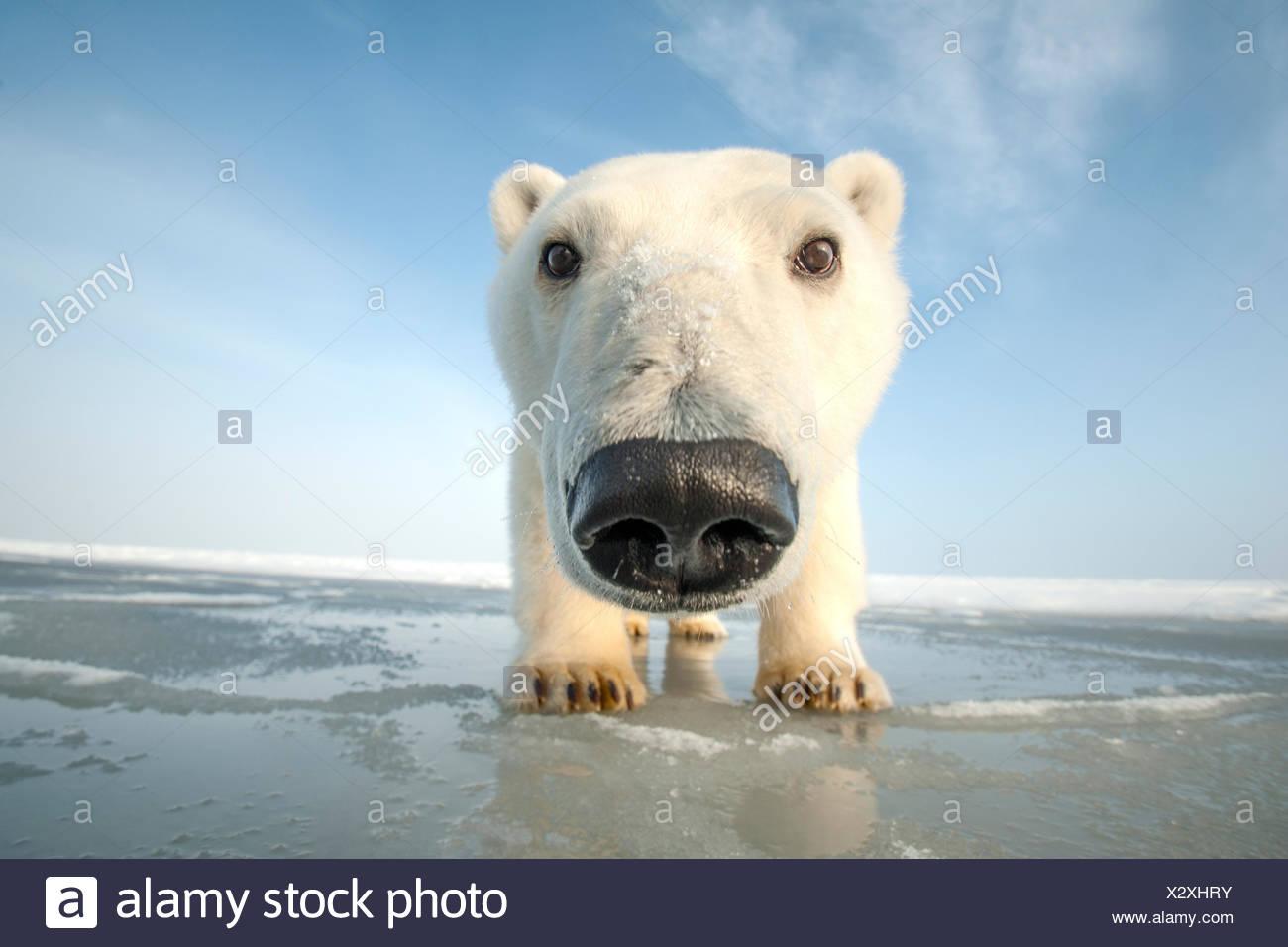 Eisbär (Ursus Maritimus) neugierige junge nähert sich der Kamera zu tragen, über neu bilden Packeis im Herbst zufrieren, Beaufor Stockbild