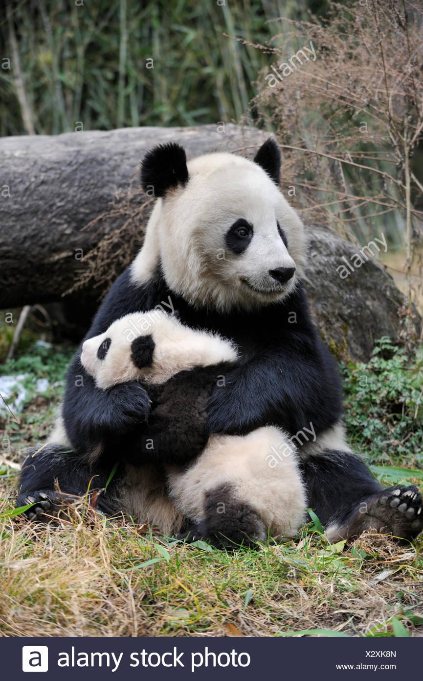 Großer Panda (Ailuropoda Melanoleuca) Mutter und Jungtier. Wolong Nature Reserve, Wenchuan, Provinz Sichuan, China. In Gefangenschaft. Stockbild