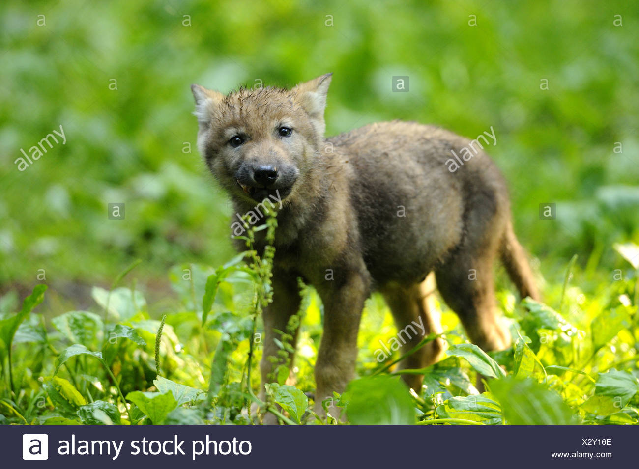Europaische Graue Wolf Canis Lupus Lupus Wolf Cub Stehen In