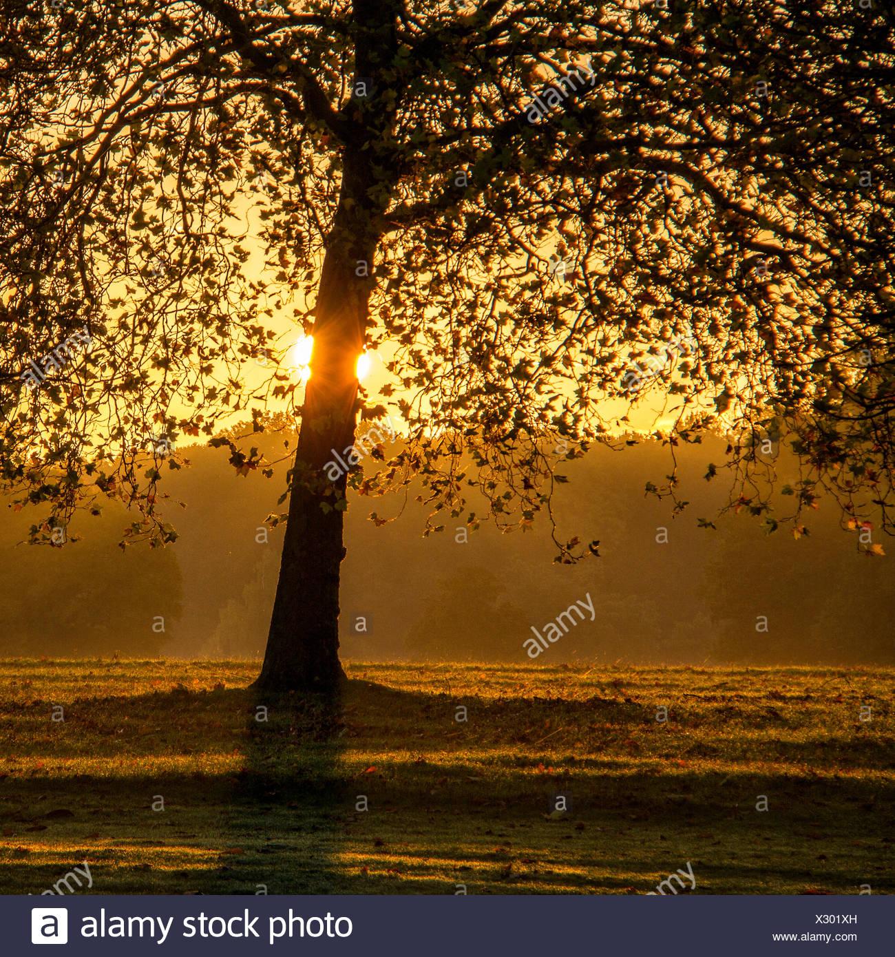 Hinterleuchtete Baum im park Stockbild