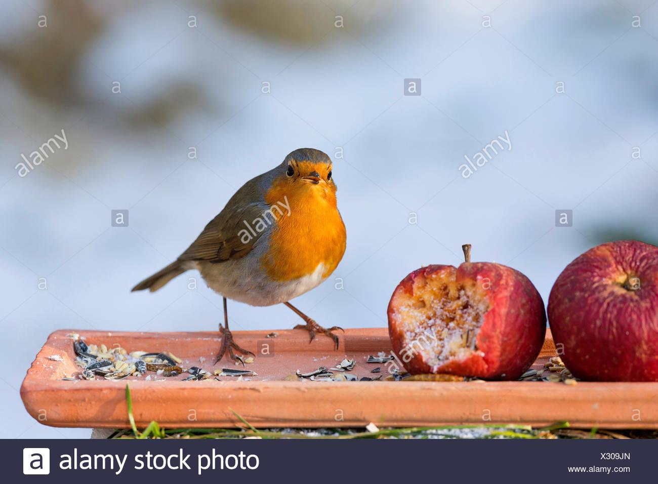 Rotkehlchen Erithacus Rubecula Futterung Auf Dem Boden Mit Apfel