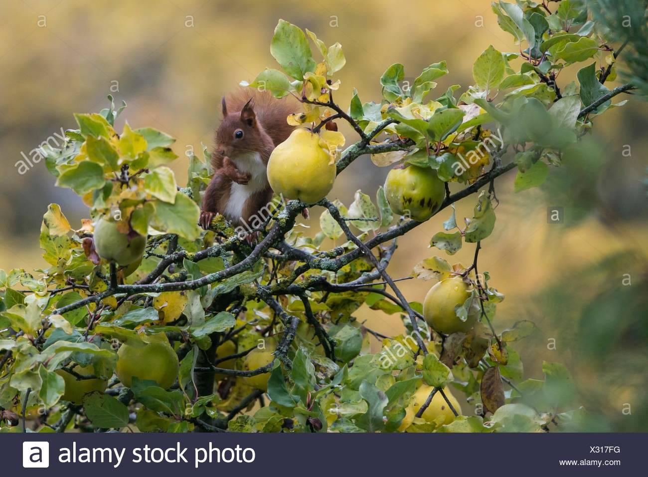Eichhörnchen (Sciurus Vulgaris), In einem Quitte Baum (Cydonia Vulgaris) inautumn in einem Landschaftsgarten, Lothringen, Frankreich Stockbild