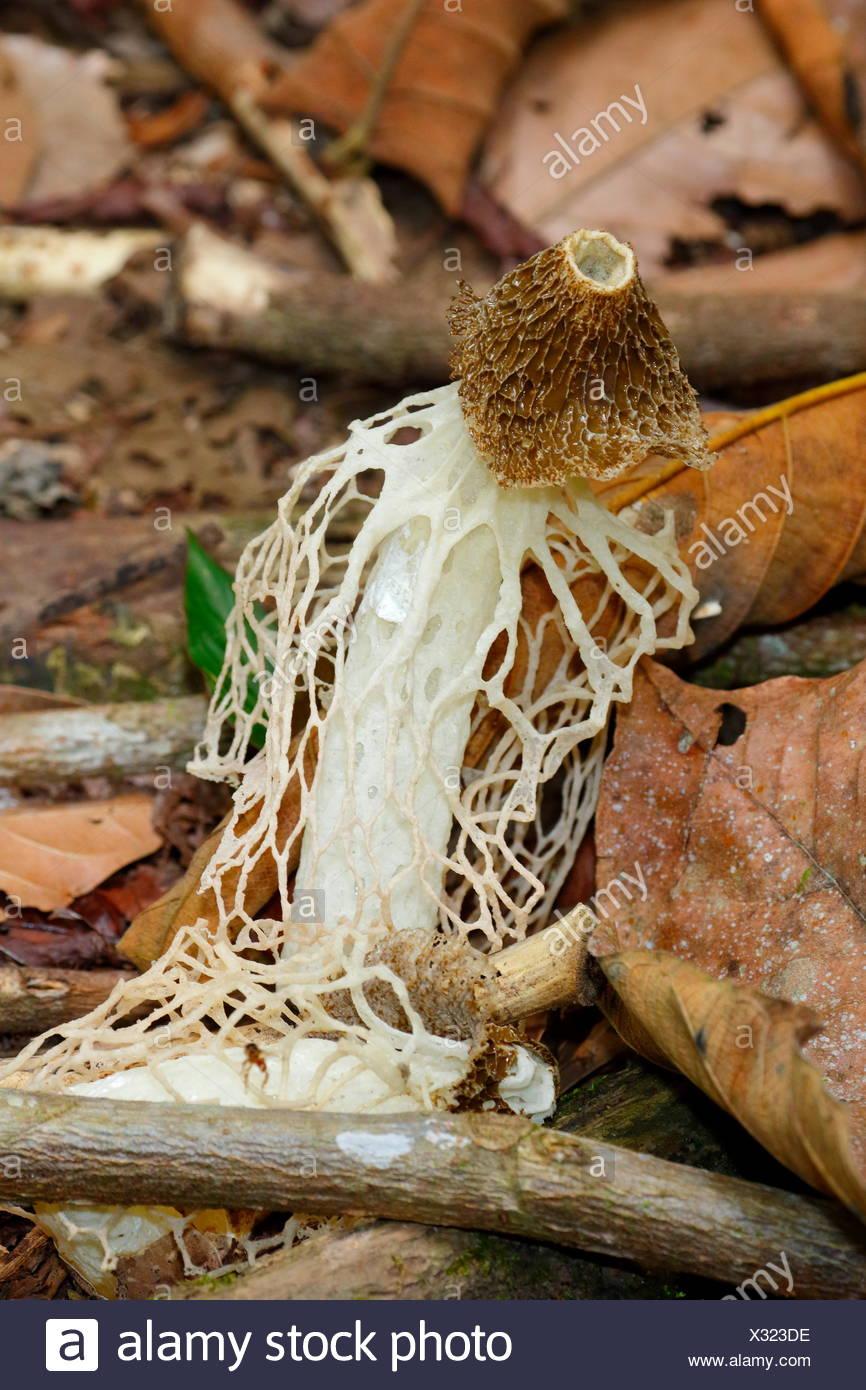 Eine verschleierte Frau Pilz, Phallus indusi, wachsen aus den Waldboden. Stockbild
