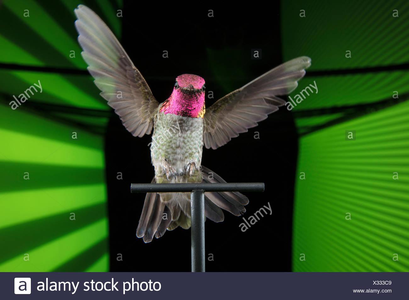 Eine Anna's Kolibri Calypte Anna, in einer virtuellen Realität Tunnel verwendet die visuelle Wahrnehmung der Kolibris zu studieren. Stockbild