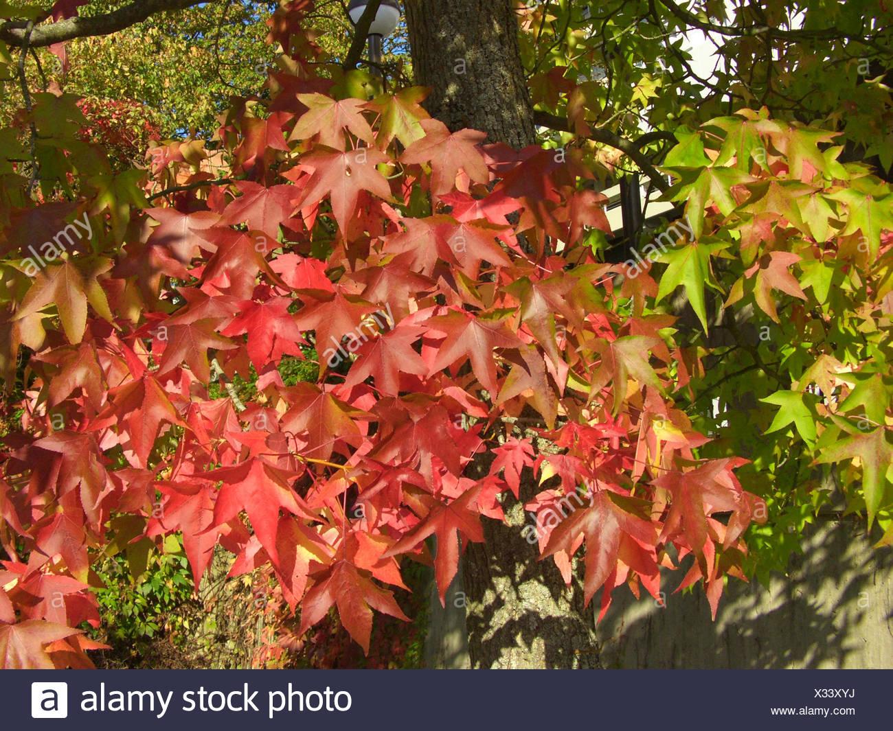Satin Nussbaum, Amberbaum, Red Gum (Liquidambar Styraciflua ...