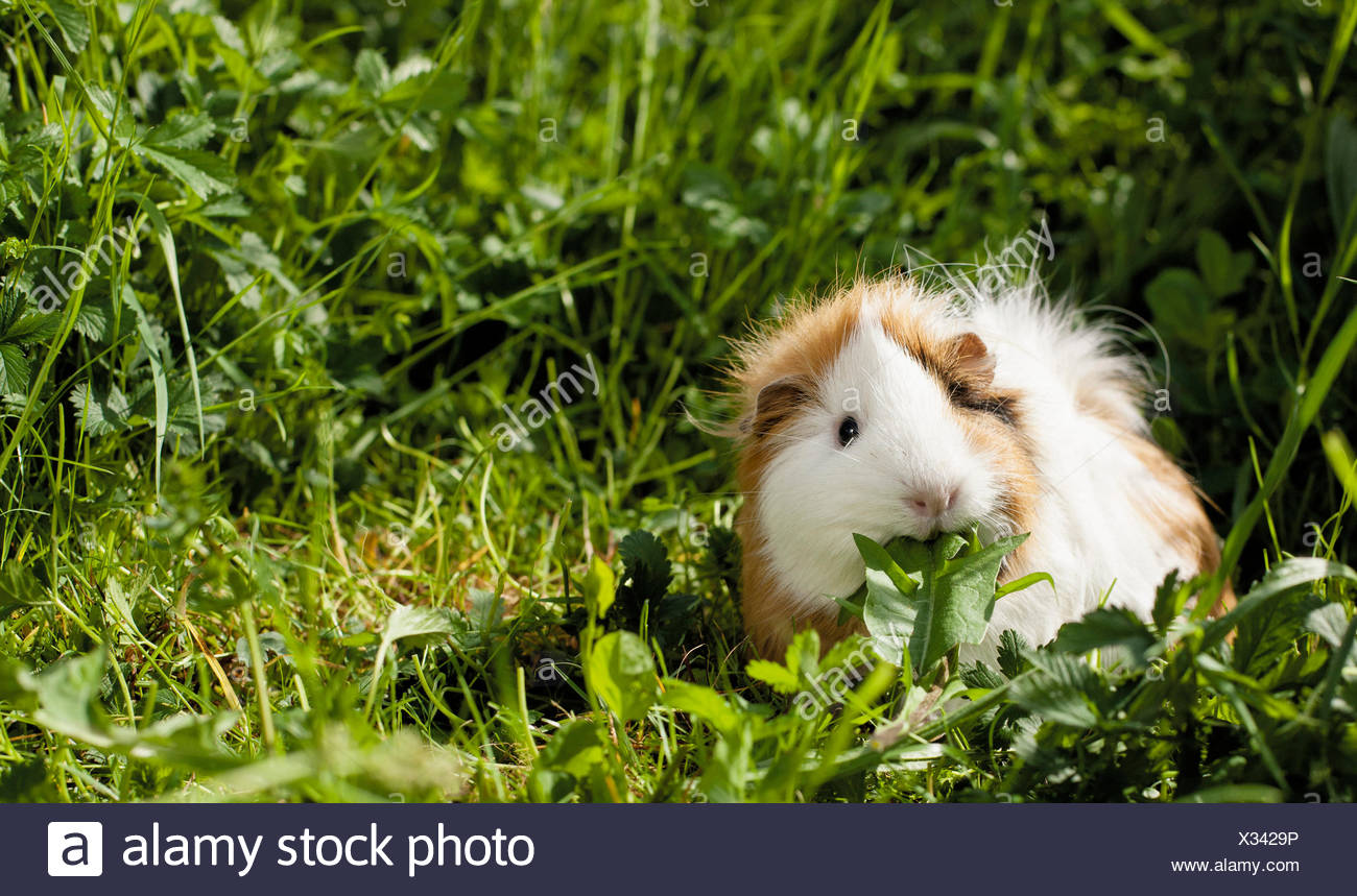 meerschweinchen löwenzahn