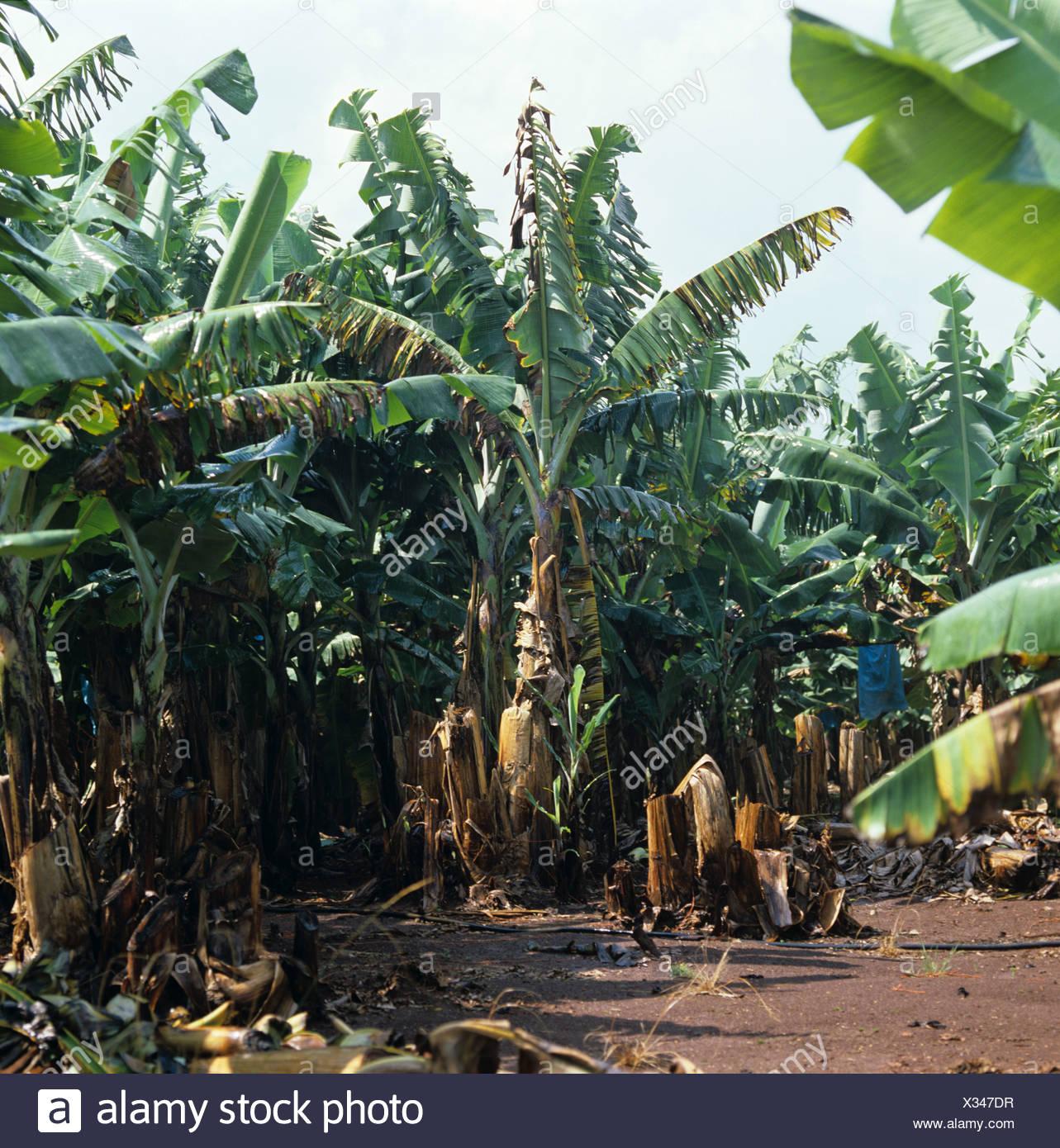 Panama Krankheit (Fusarium Oxysporum) Verwüstung in reifen südafrikanischen Bananenplantage Stockbild