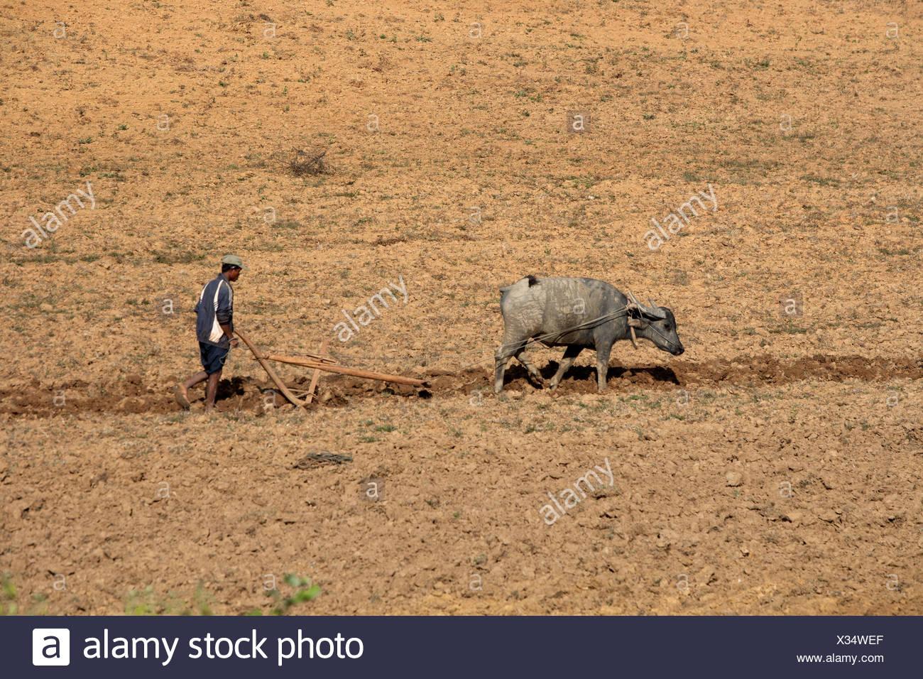Myanmar, landwirtschaftliche Hilfsarbeiter, der Ochse Pflug, Stockbild