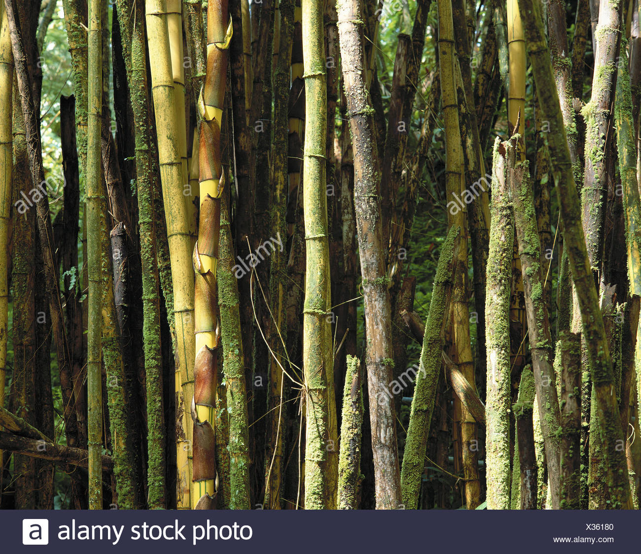 Bambus Stengel Detail Schneiden Teil Hawaii Big Island Botanischer