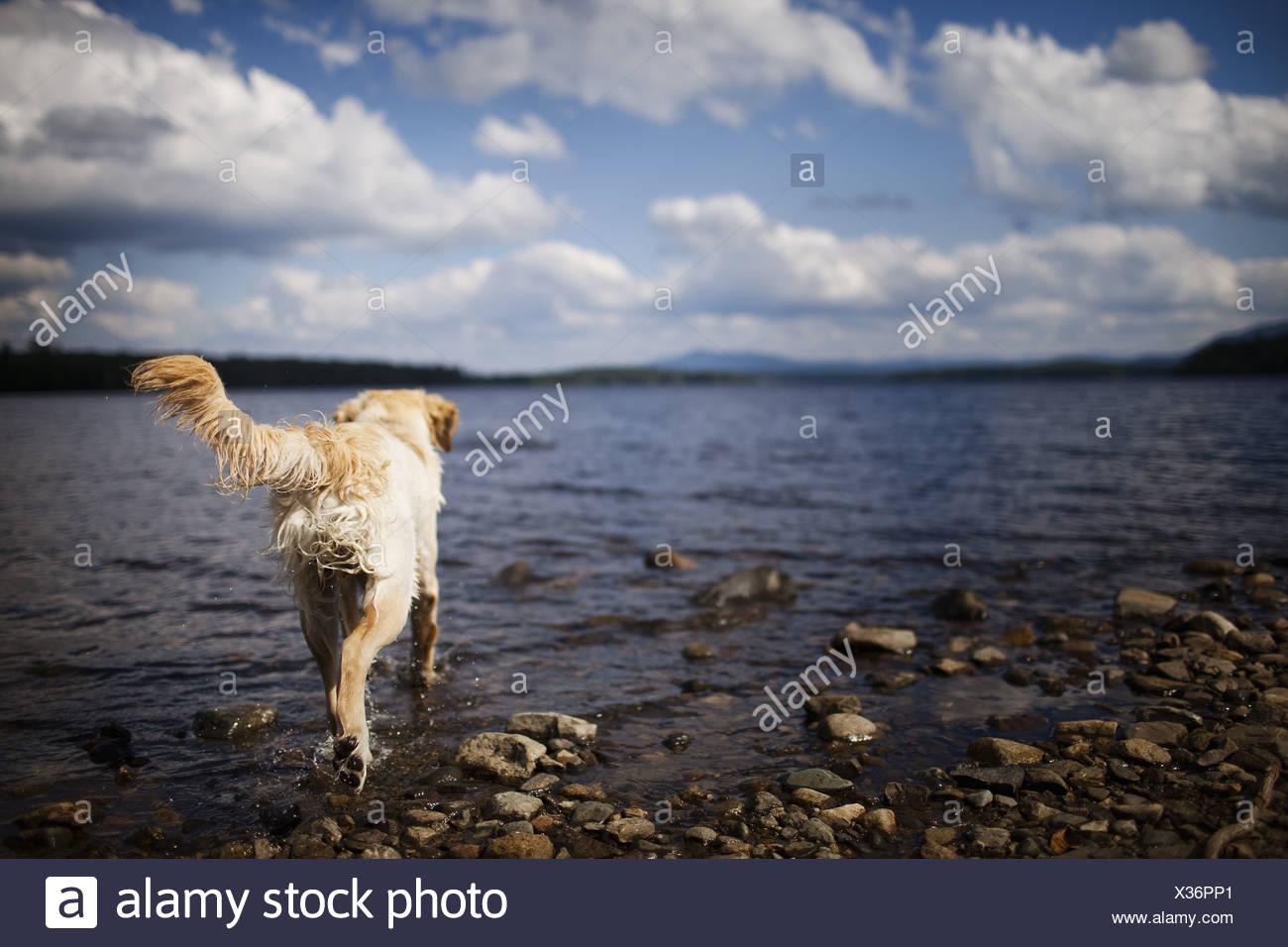 USA Hund mit langen Haaren als Familienhund schütteln sich nass Stockbild