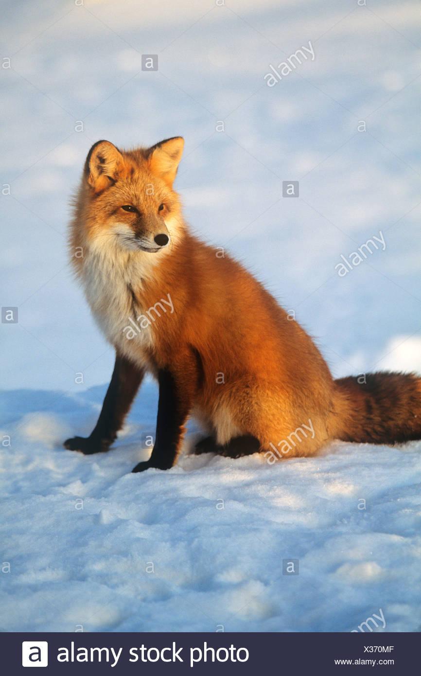 Vulpes Vulpes Roter Fuchs Im Winter Schnee Stockfoto Bild