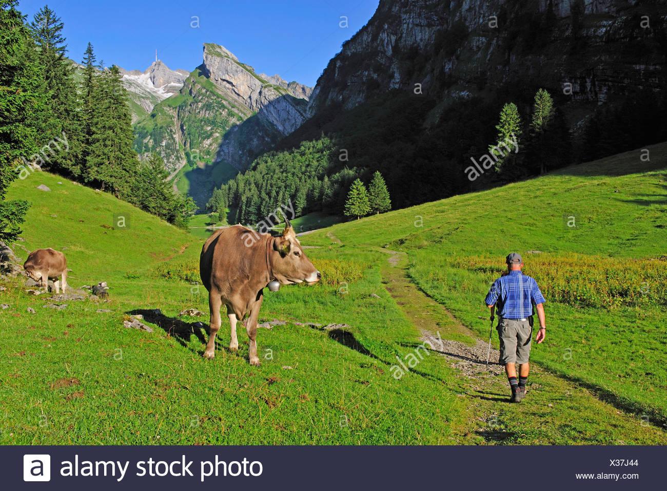 Hausrind (Bos Primigenius F. Taurus), Kuh, Blick auf ein Wanderer, der Schweiz, Appenzell, Alpsteingebirge Stockbild