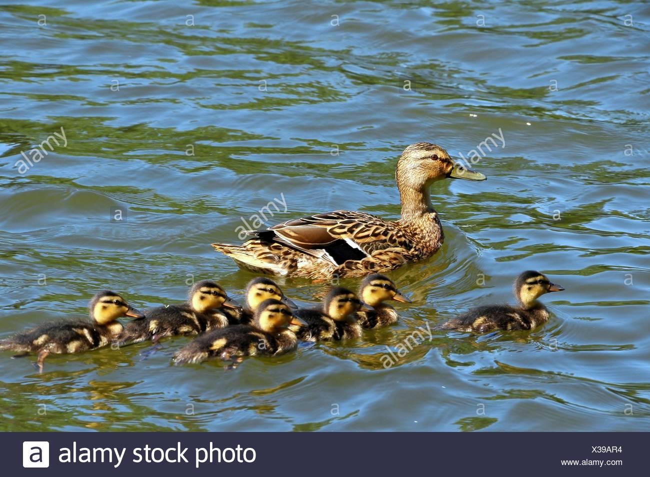Entenfamilie Stockbild