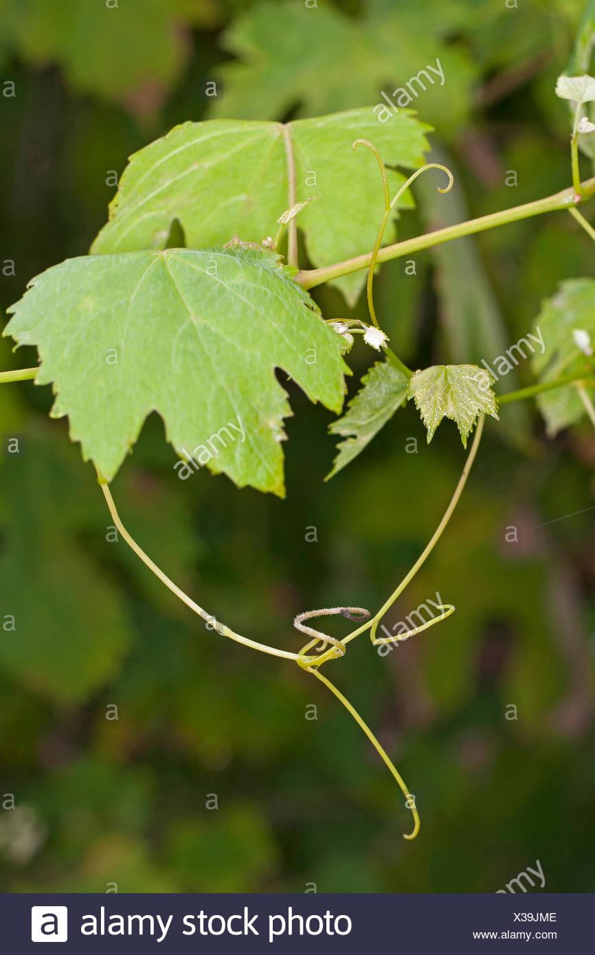 Rebe, Weinrebe (Vitis Vinifera), ranken- und Blätter, Deutschland Stockbild