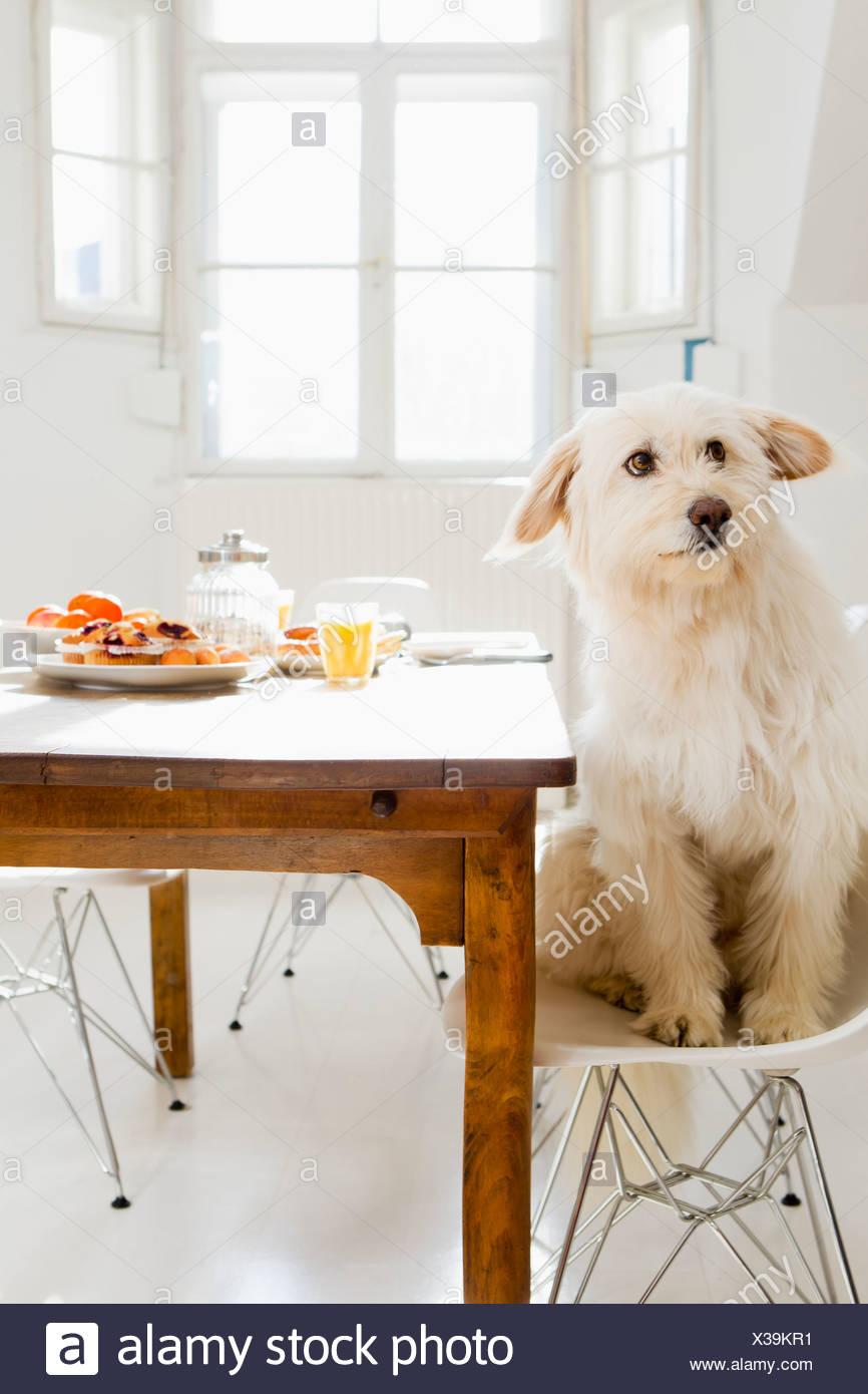 Hund am Tisch sitzen Stockfotografie Alamy