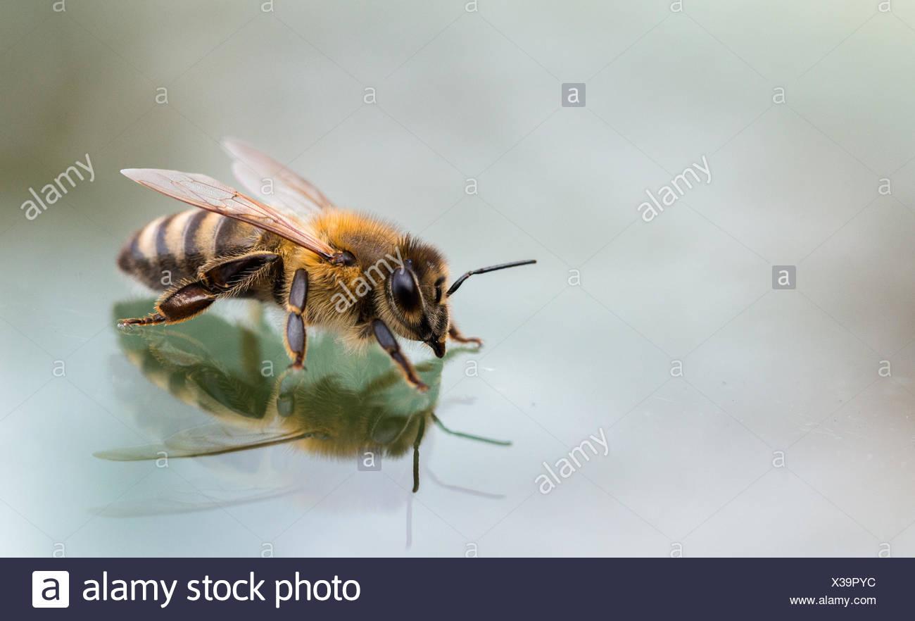 Nahaufnahme von Biene Stockbild