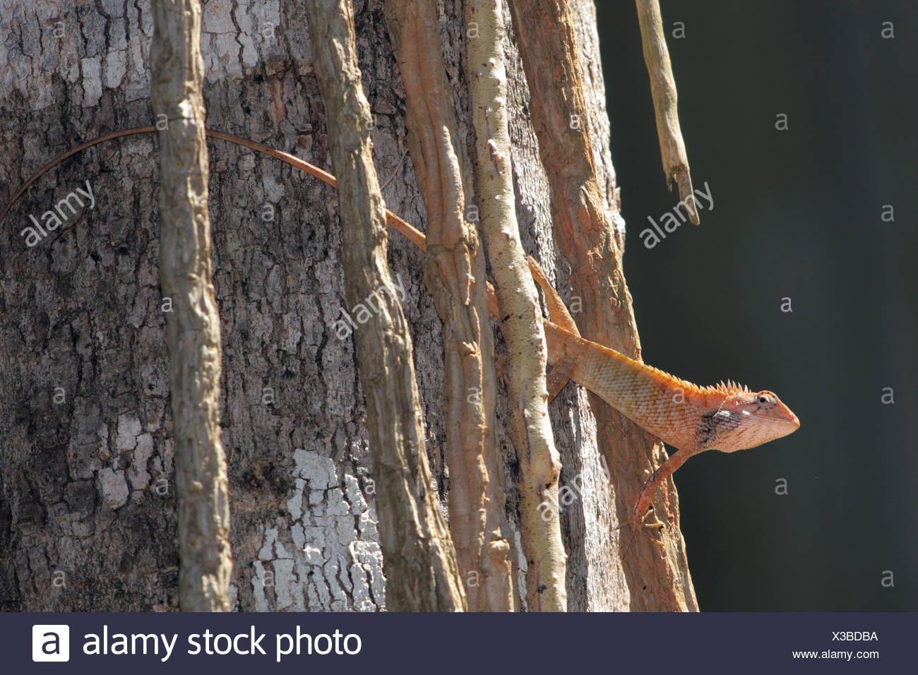Gemeinsamen Blutsauger, indische Baum Eidechse, Garten Eidechse (Calotes versicolor), Hintergrundbeleuchtung bei einem Log, Thailand, Khao Lak-NP Stockfoto