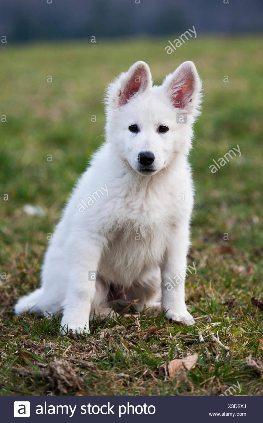 Weisser Schweizer Schaferhund Welpen Osterreich Stockfotografie Alamy