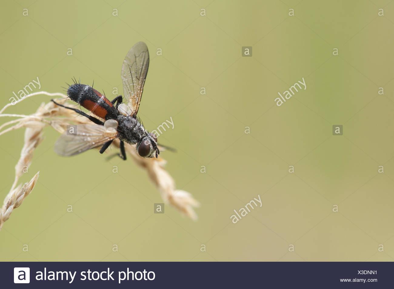 Tachinid Fly (Cylindromyia Spec.) Stockbild