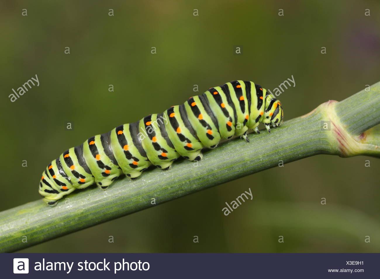 Schmetterling Raupe Streifen Stockfoto