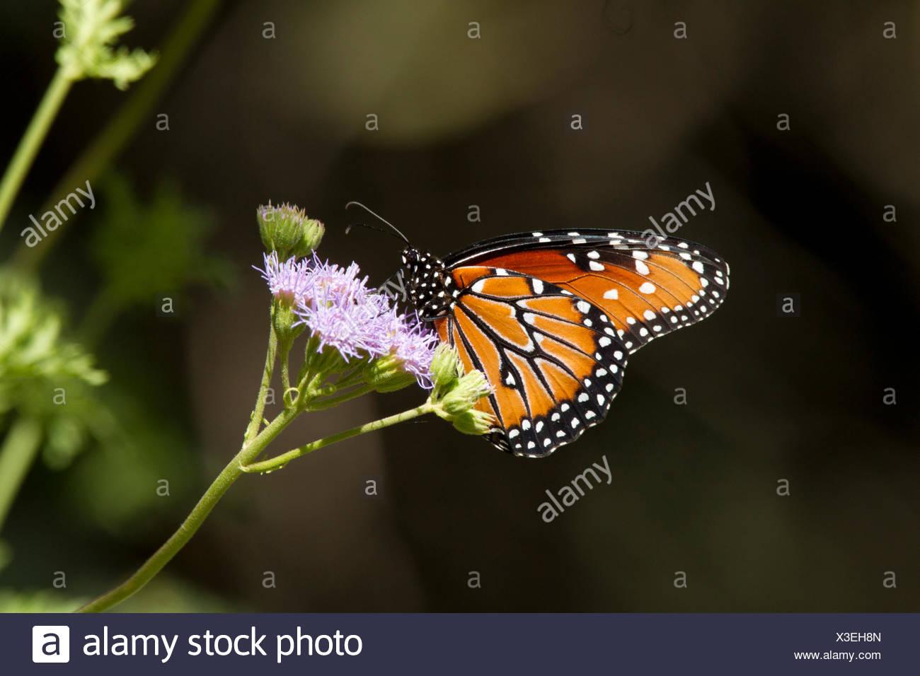 Groß Monarch Schmetterling Anatomie Fotos - Menschliche Anatomie ...