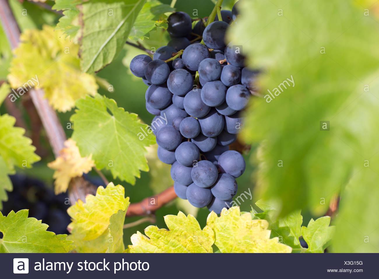 Weintrauben Auf Einem Weinstock Im Herbst Stockbild