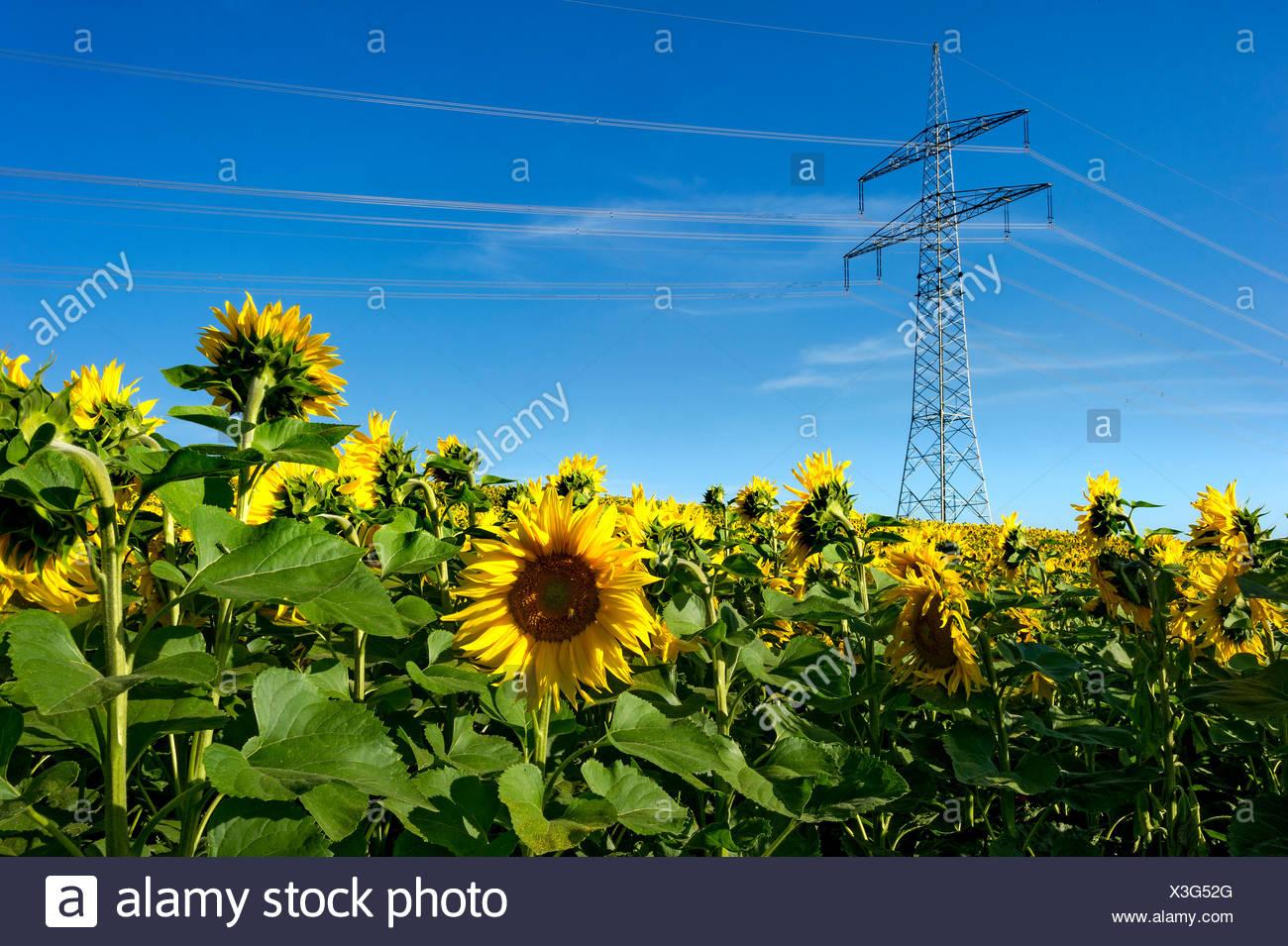 Strom-Übertragungsleitung durch ein Feld von Sonnenblumen, Altomünster, Upper Bavaria, Bavaria, Germany Stockbild