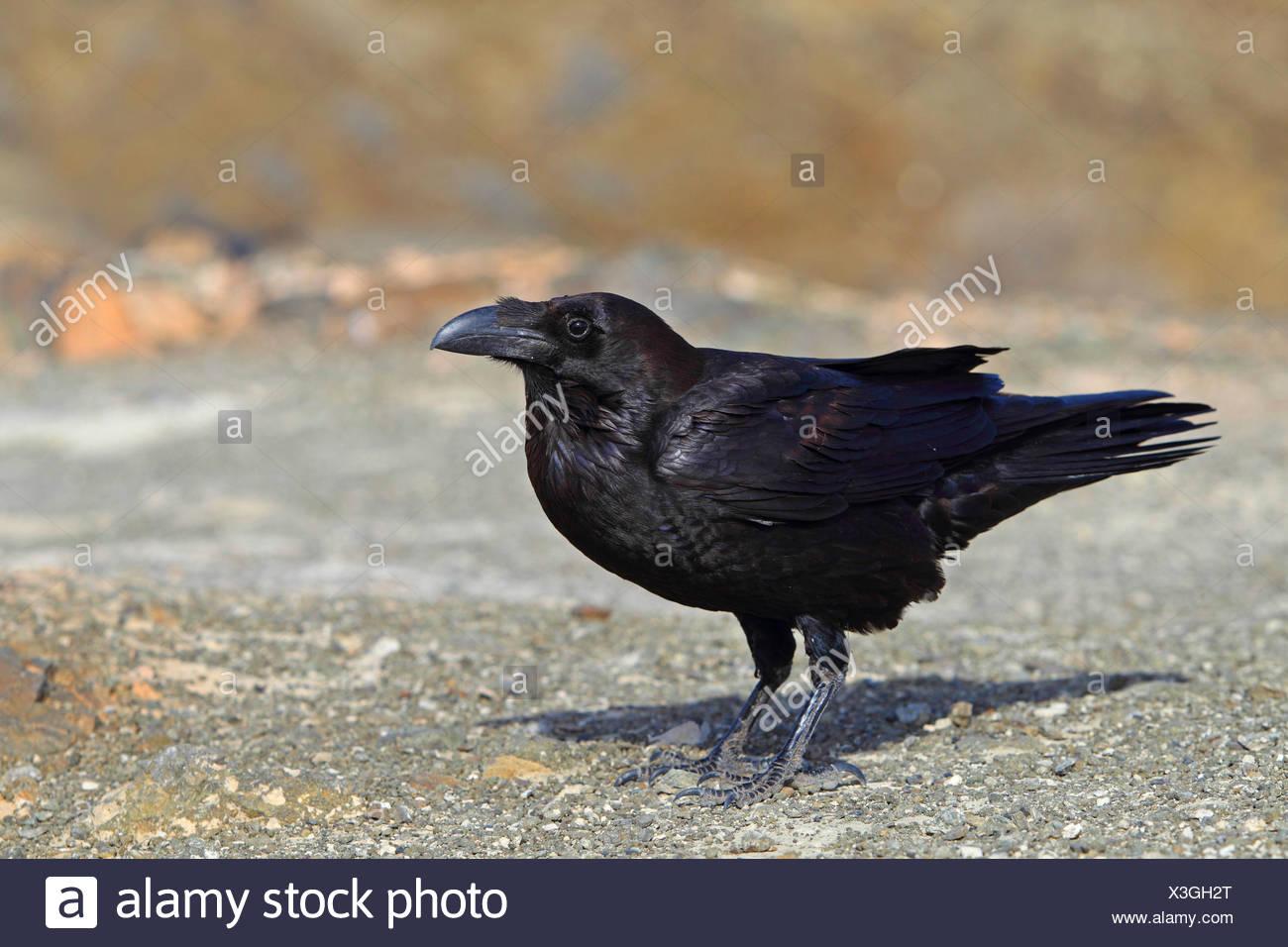 Kanarischen Inseln Raven, raven Kanarische Raven (Corvus Corax Tingitanus, Corvus Tingitanus), steht auf dem Boden, Kanarischen Inseln, Fuerteventura Stockbild