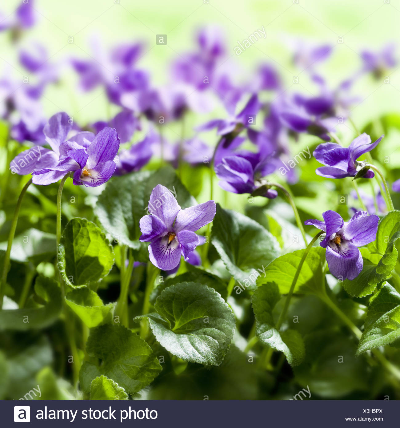 garten-duft-veilchen viola odorata detail blüht blume bett pflanzen