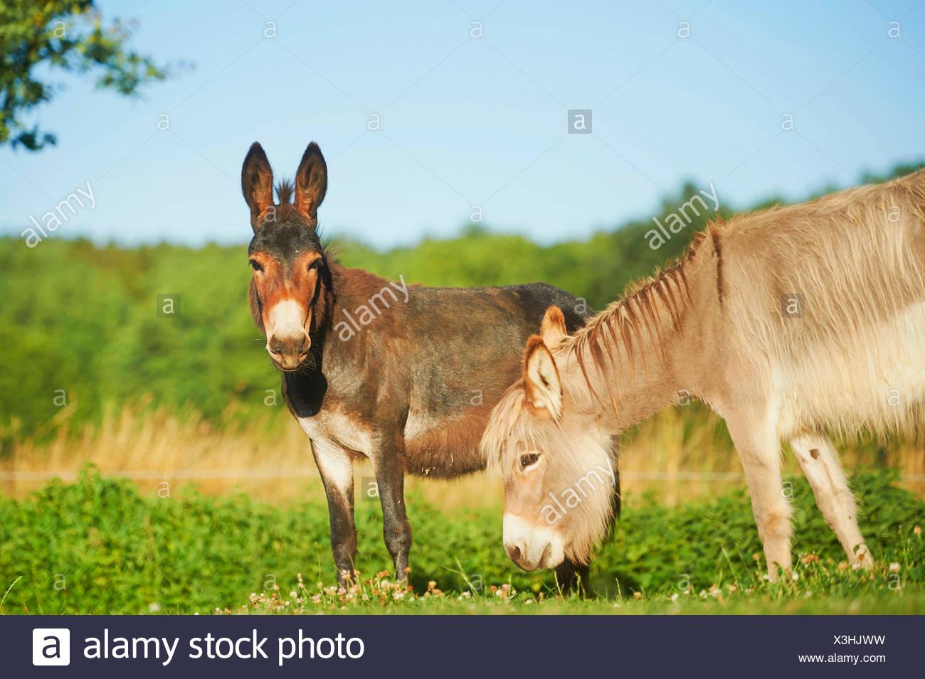 Inländische Esel (Equus Asinus Asinus), zwei Esel stehen zusammen auf einer Wiese, Deutschland Stockfoto