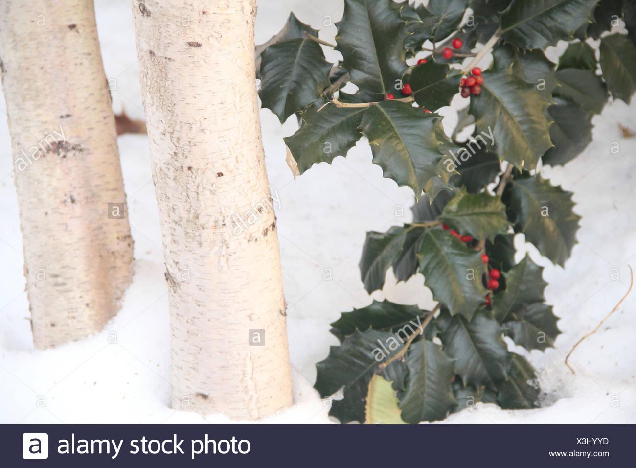 Ilex Aquifolium, Stechpalme, Lincoln Highline, Manhattan, New York, Vereinigte Staaten von Amerika Stockbild
