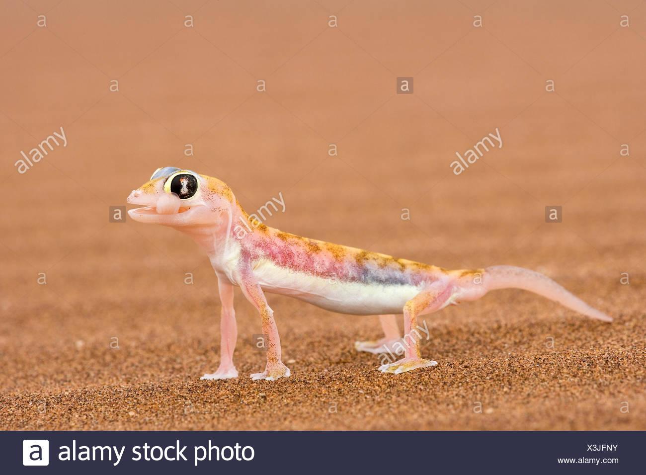 Footed Gecko (Palmatogecko Rangei) Sand Schwimmfüße Hilfe läuft über feinen Sand große, Birne-wie dunklen braunen und roten Augen vert Stockbild