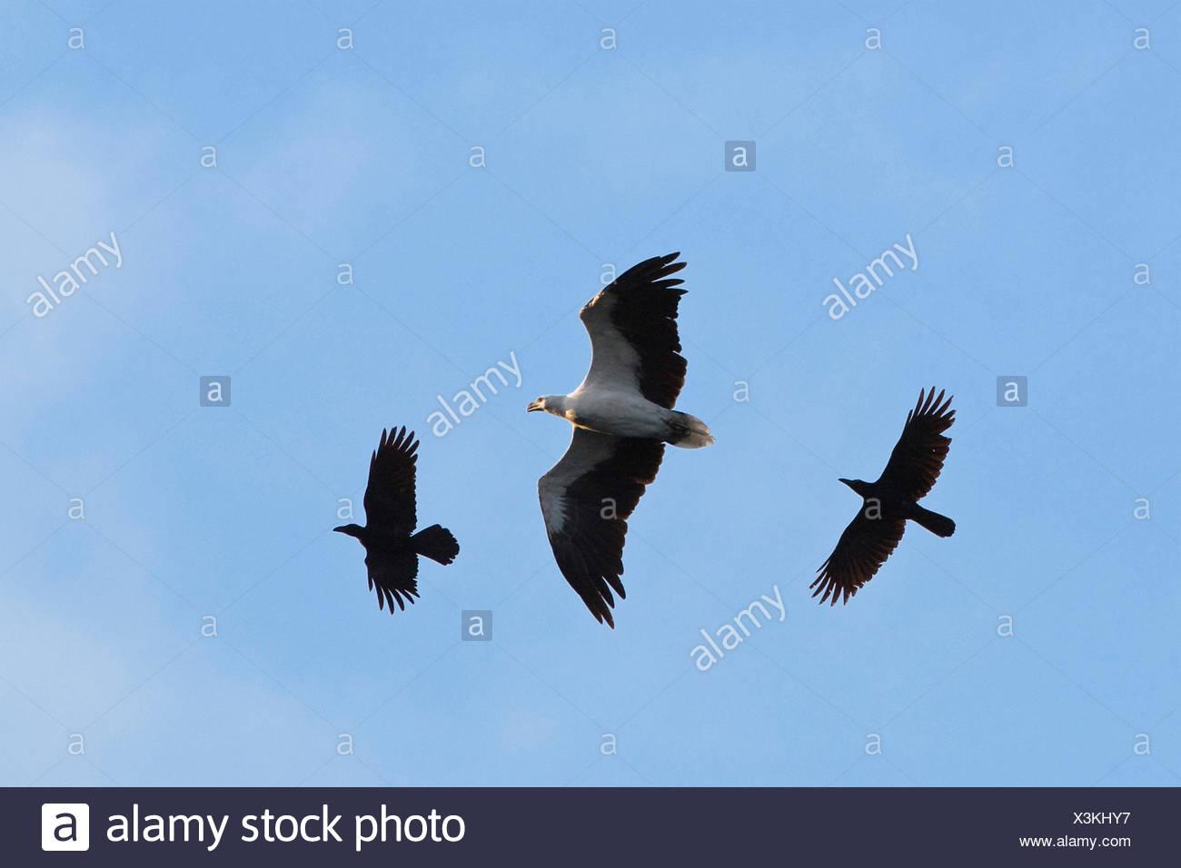 Dschungel Krähe (Corvus Macrorhynchos), Dschungel Krähen angreifen White-bellied Sea-Eagle, Haliaeetus Leucogaster, Indien, Andaman Inseln Stockbild