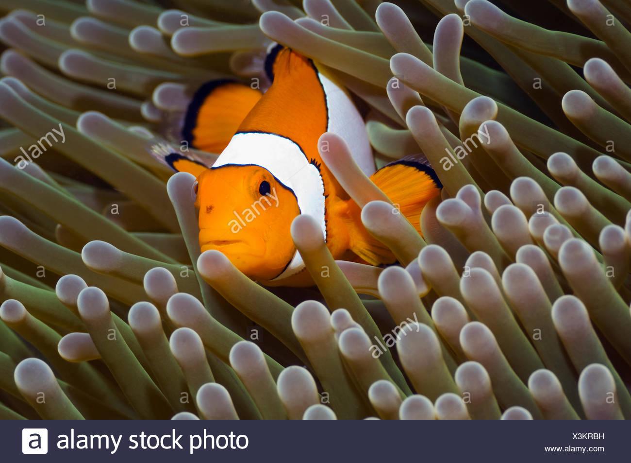 Falscher Clown Anemonenfische (Amphiprion Ocellaris) unter Anemone Tentakeln, Misool, Raja Ampat, West Papua, Indonesien. Stockbild