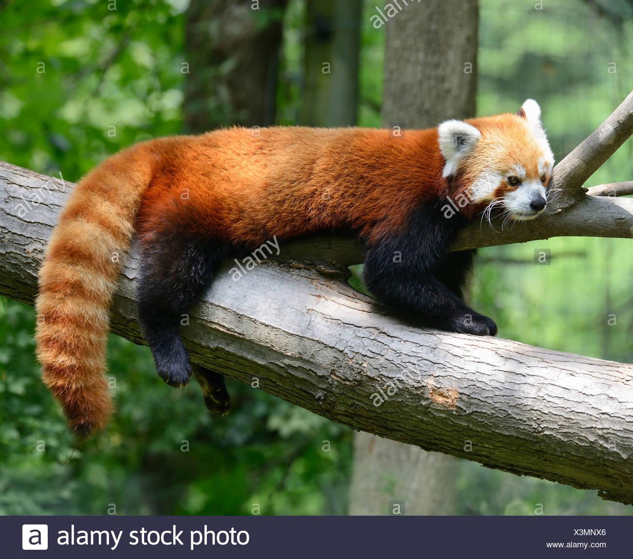 Wunderbar Baby Panda Bär Malvorlagen Zeitgenössisch ...
