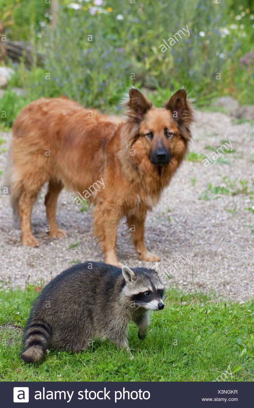 gemeinsamen Waschbär (Procyon Lotor), zahme Welpen eng befreundet mit Hund, Friedship zwischen Hund und wildes Tier, Deutschland Stockbild