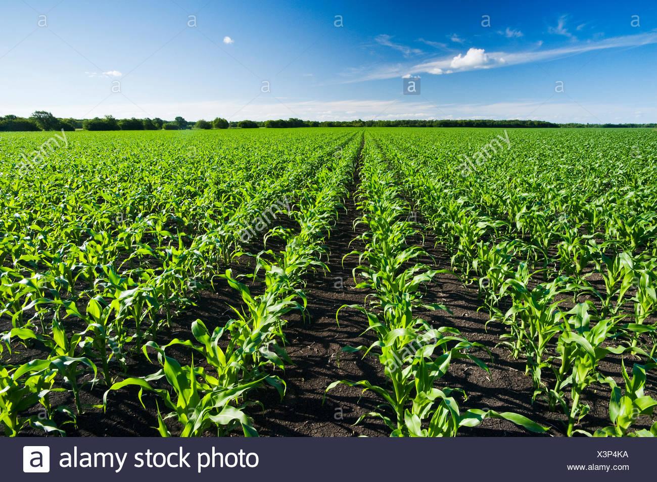 ein Bereich der Futtermittel/Getreide Mais erstreckt sich bis zum Horizont, in der Nähe von Dugald, Manitoba, Kanada Stockbild