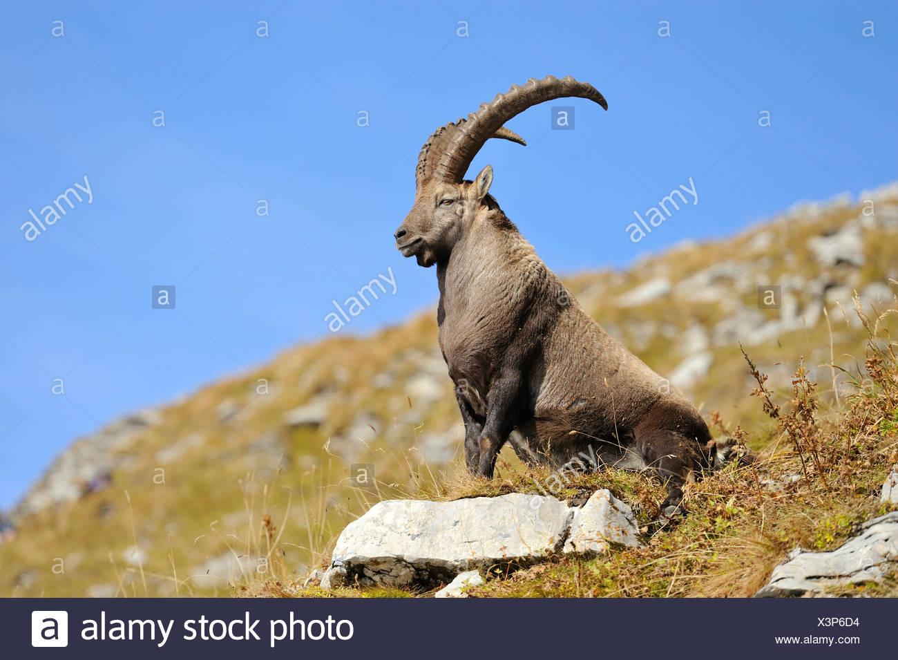 Alpensteinbock (Capra Ibex), sitzen im Herbst farbige Rasen Stockbild