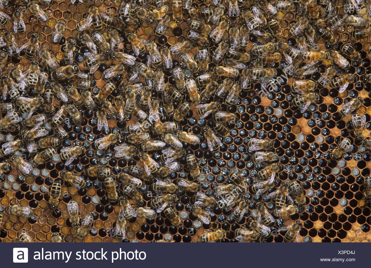Arbeiter und ein paar Drohne Honig Bienen Apis Mellifera auf Brutzellen in einem Bienenkorb Stockbild