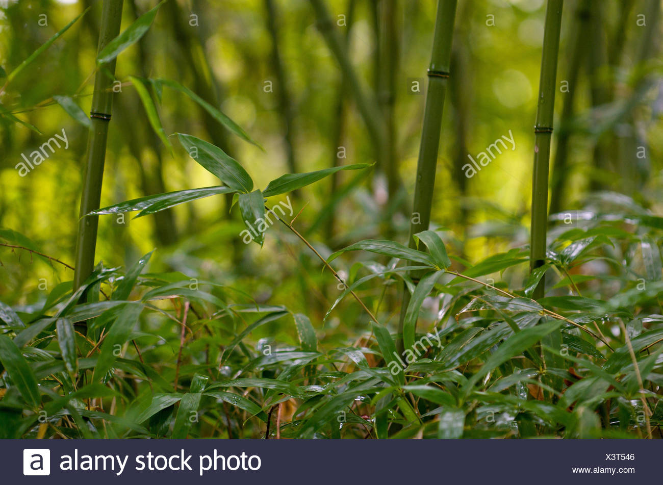 Bambusholz Stock Wachstum Unscharfe Bambusholz Bambus Feng Shui