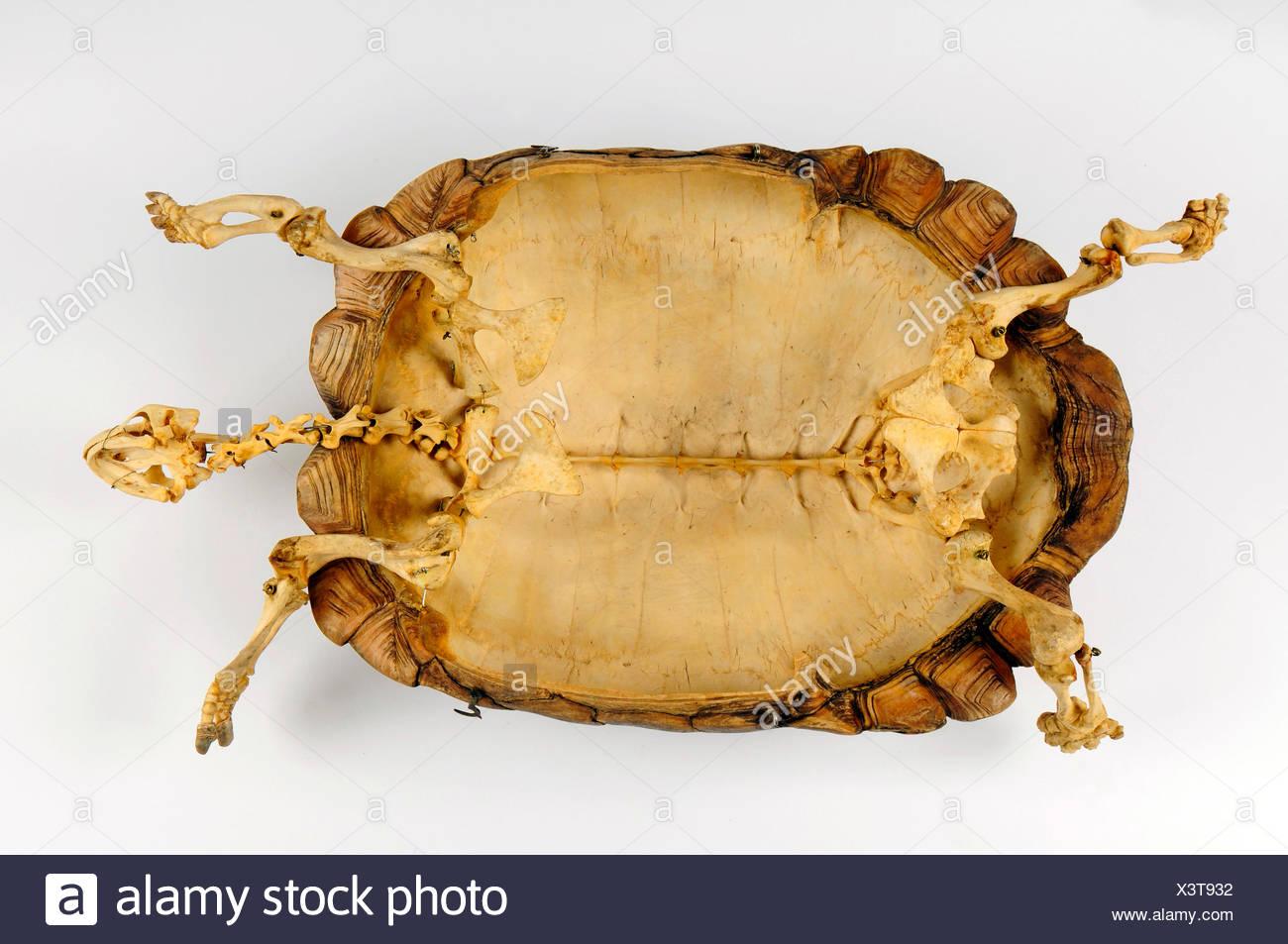 B Skeleton Stockfotos & B Skeleton Bilder - Alamy