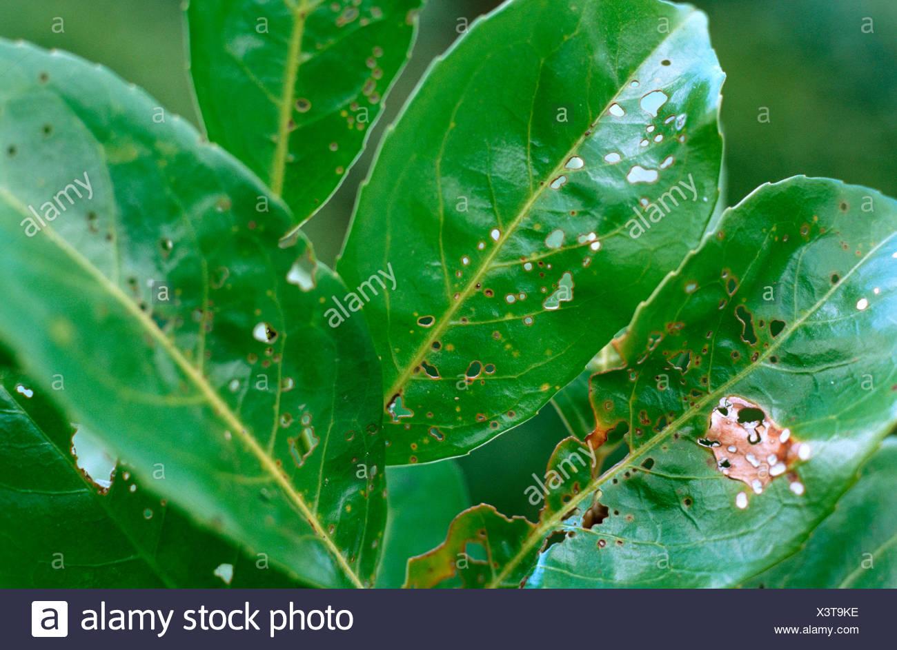 Kirschlorbeer (Prunus Laurocerasus), mit der Krankheit durch Ascospora Beijerinkii/Stigmina carpophila Stockbild