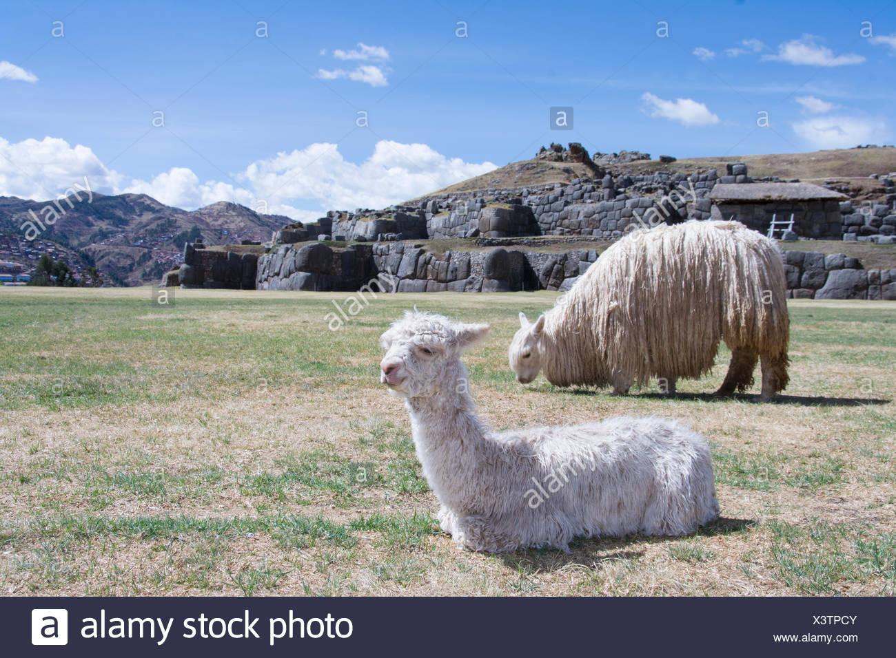 Lamas in Sacsayhuaman ist wohl die eindrucksvollste von allen antiken Stätten in Peru, Cuzco, Peru Stockbild