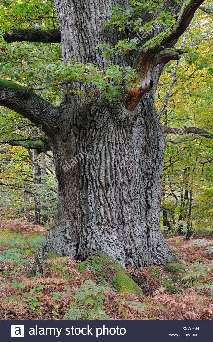 stieleiche, pedunculate eiche, englisch eiche (quercus robur), alter