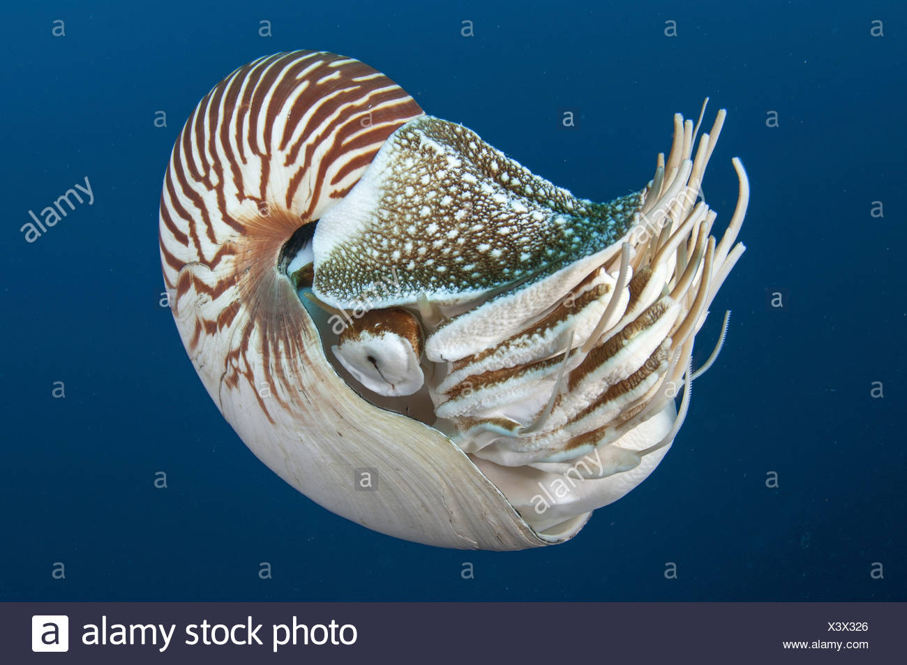 Tiefsee Kreatur, Nautilus, Palau (Nautilus Belauensis) Stockbild