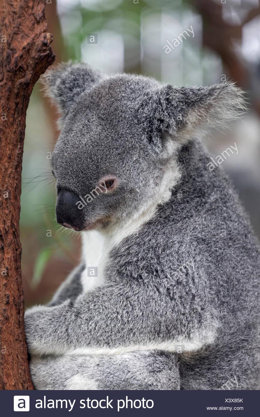 Koala (Phascolarctos Cinereus) sitzend auf Ast im Baum, Brisbane, Queensland, Australien Stockbild