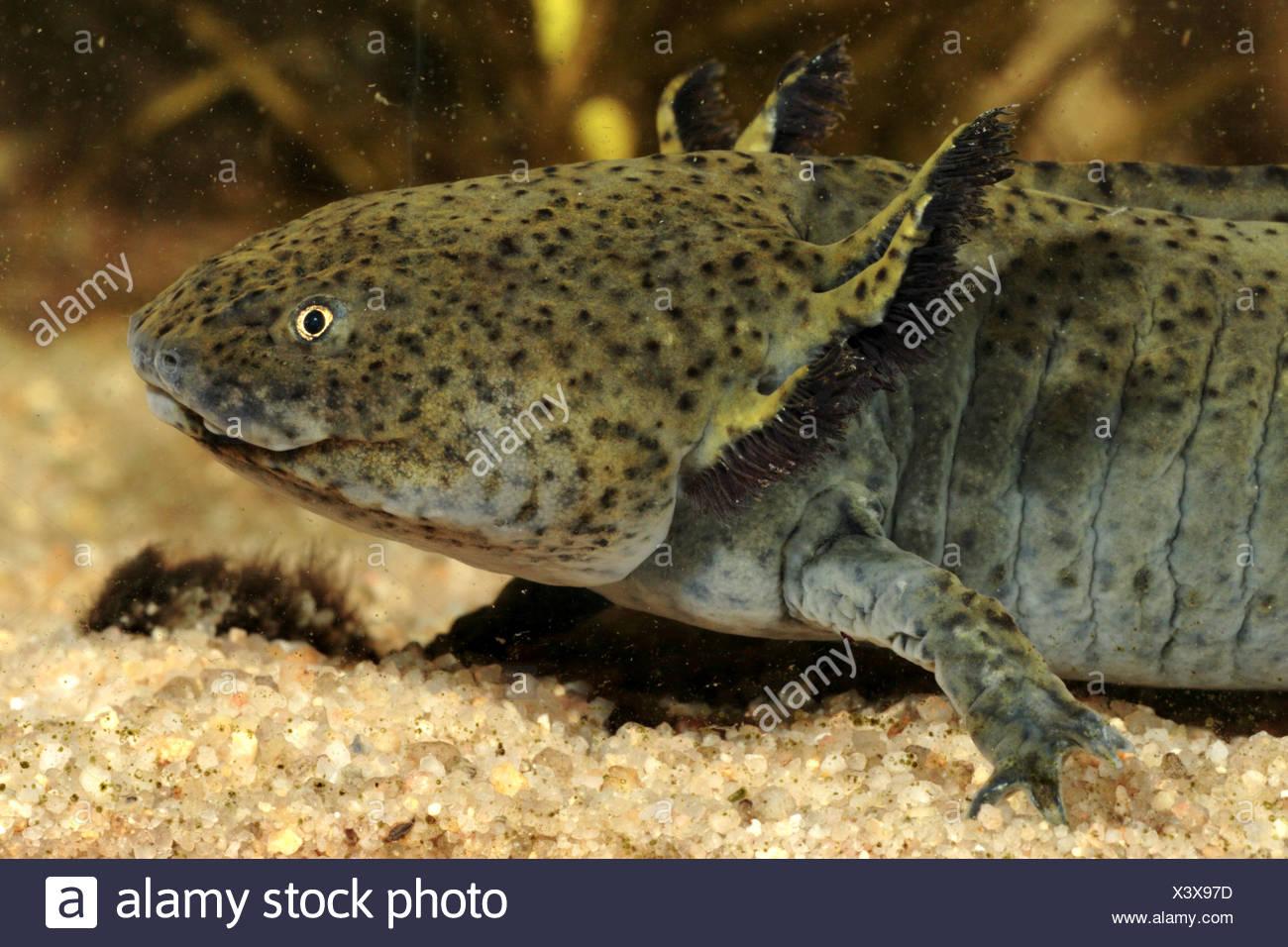 Siredon Or Axolotl Stockfotos & Siredon Or Axolotl Bilder - Seite 3 ...